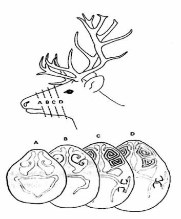 Illustrasjonen viser en reinsdyrnese som har blitt delt opp i skiver og viser at nesen innvendig ligner på en konkylie. (Foto: (Illustrasjon: NTNU))