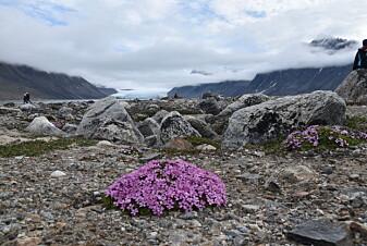 Fjellsmelle. (Foto: Dagmar Hagen)