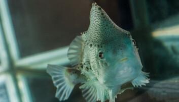 Den lille grønne fisken gjør en stor innsats for å avluse laksen.  (Foto: Terje Aamodt/ Nofima)