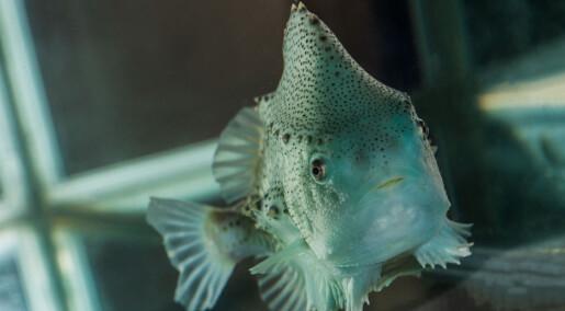 Den lille fisken spiser lakselus - nå kan den havne på menyen i Asia