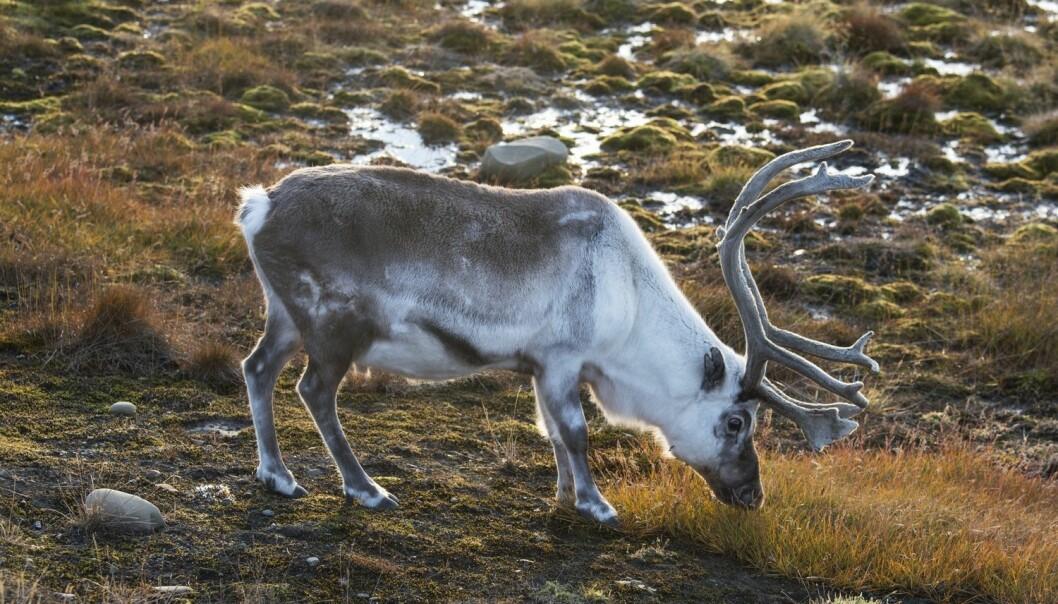 Svalbardrein (Rangifer tarandus platyrhynchus). Forskere mener reinsdyr i Arktis kan bli hardt rammet av klimaendringene. (Foto: Steinar Myhr / Samfoto / NTB scanpix)