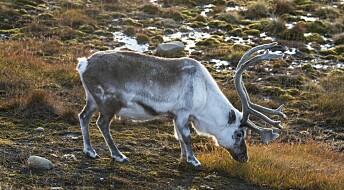 Forskere: – Klimaendringer rammer reinsdyr på Svalbard