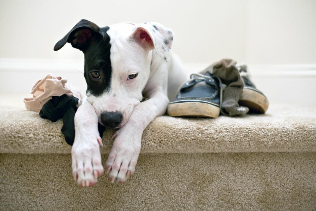 Hunder utsondrer hormoner når de er nervøse, og disse luktene oser ut av anus. Det kan gjøre det vanskelig å slippe unna med en løgn. (Foto: Shutterstock / NTB Scanpix)