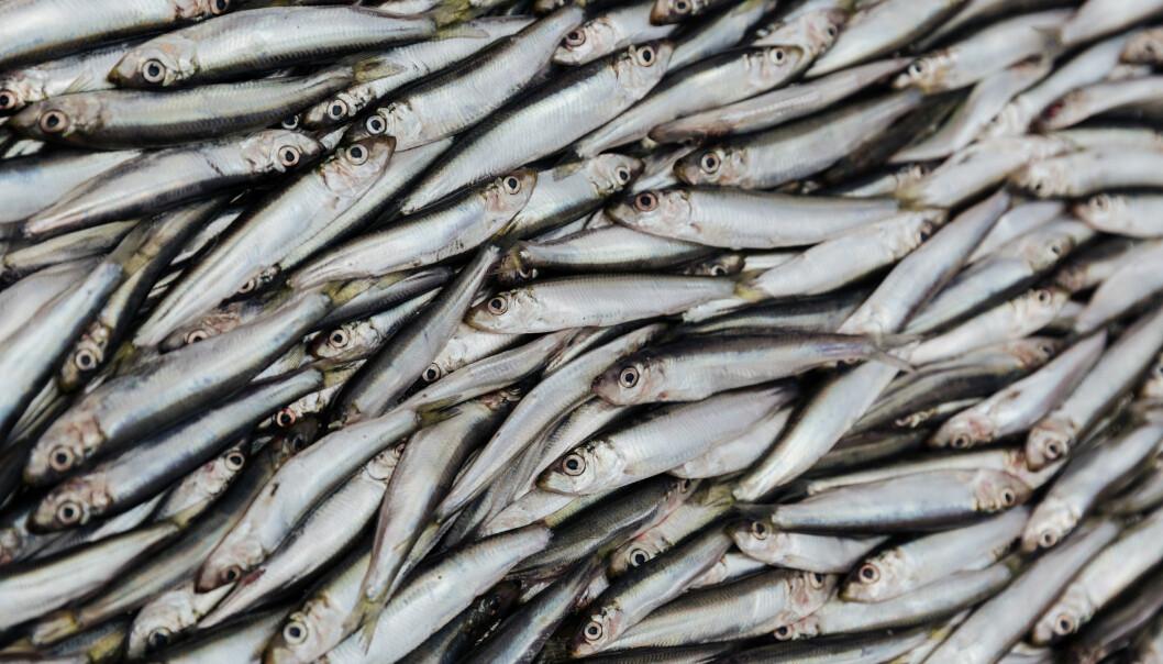 Brislingen er en viktig matfisk. I Norge blir brislingen ofte solgt som sardiner eller ansjos, selv om dette egentlig er andre arter.  (Foto: Colourbox)