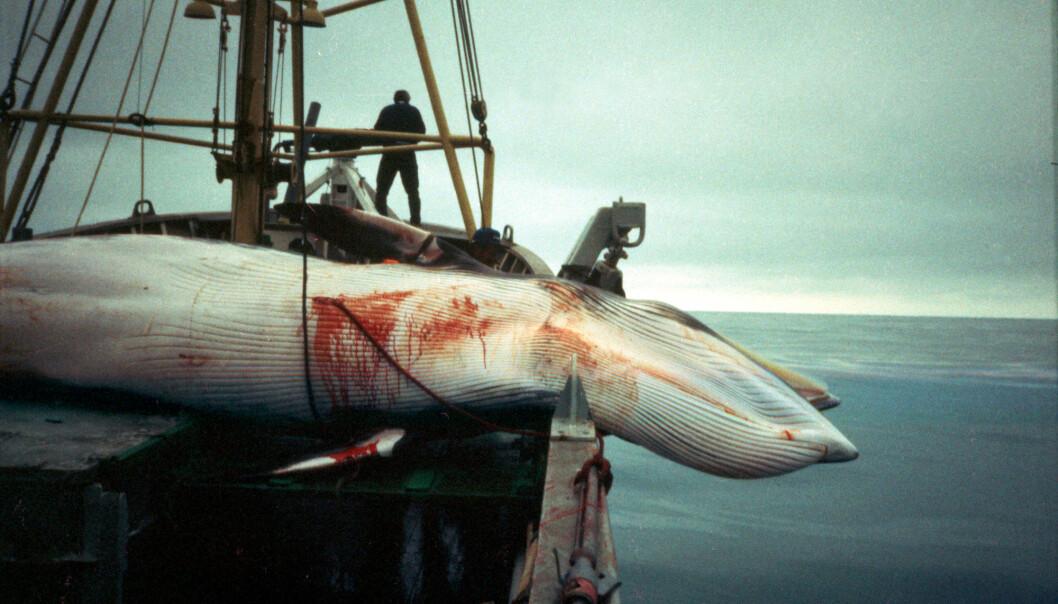 Norske hvalfangere har en kvote på 1278 vågehval i år. Nå skal forskere undersøke hva eksport av produkter har å si for hvalbestanden. Bildet viser vågehvalfangst sommeren 1993. (Foto: NTB Scanpix)