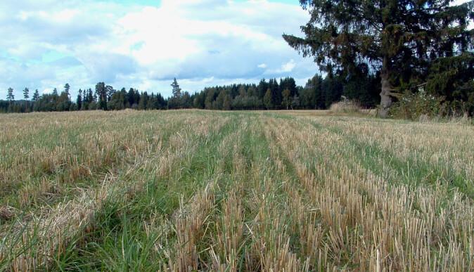 Fangvekster: Planter som dekker jorden med vegetasjon gjennom store deler av året og fortsetter å vokse også etter at hovedkulturen er høstet inn, kommer best ut av de vurderte tiltakene for karbonbinding i jord. (Foto: Marianne Bechmann)