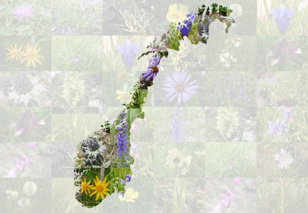 Norge har mange truede plantearter. Men hvor er de alle sammen? (Foto: NINA)