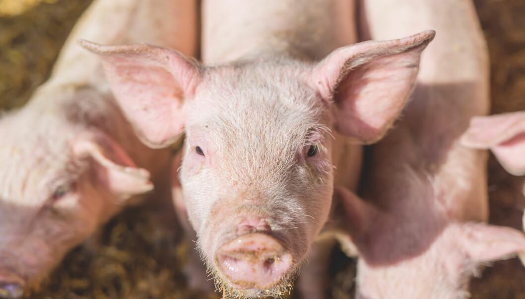 I Spania og Italia brukes det over 300 milligram antibiotika for å produsere ett kilo svinekjøtt (Foto: Dusan Petkovic / Shutterstock / NTB scanpix)