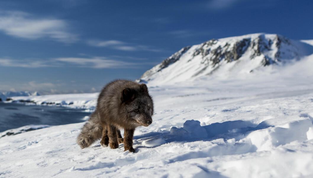 – Endringene er først og fremst drevet av globale utslipp av klimagasser. Forskrifter for Svalbard bidrar til å redusere lokale effekter på miljøet, men det er også viktig å få globale tiltak på plass for å bremse utslipp av klimagasser, sier forskeren bak ny rapport. (Foto: Jon Leithe / Norsk Polarinstitutt)