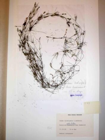 Et eksemplar av arten vanlig kransalge Chara globularis fra herbariet ved Naturhistorisk museum, Universitetet i Oslo. (Foto: Creative Commons)
