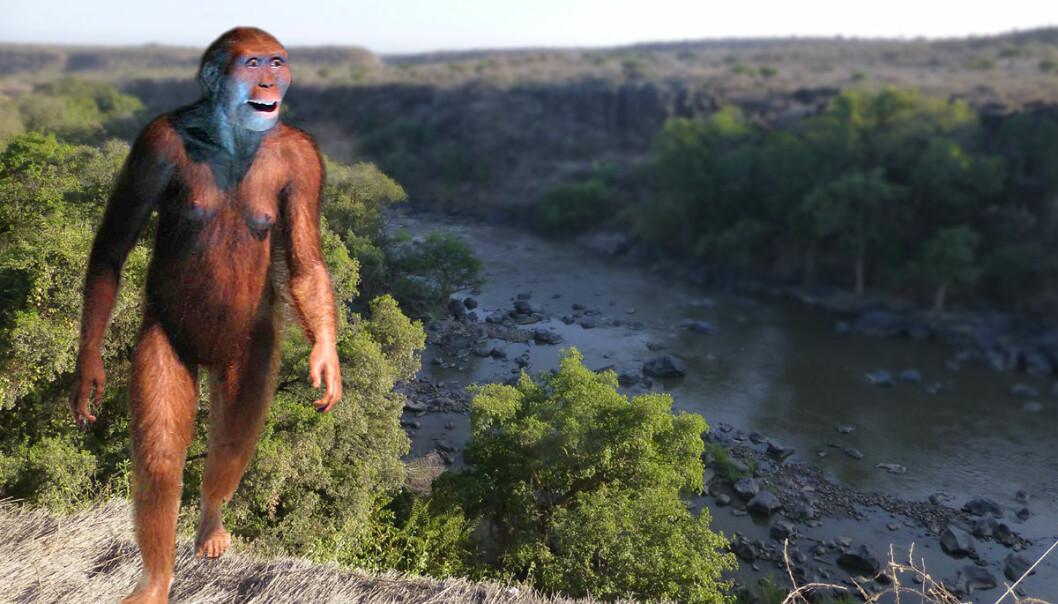 Slik kan menneskets stammor Lucy av arten <i>Australopithecus afarensis</i> ha sett ut. Modellen står i museet Cosmocaixa i Barcelona. Her er den fotomontert inn i et bilde fra området i Etiopia der restene av Lucy  er funnet. (Bilde: Ji-Elle, Creative Commons Attribution-Share Alike 3.0 Unported license/forskning.no)