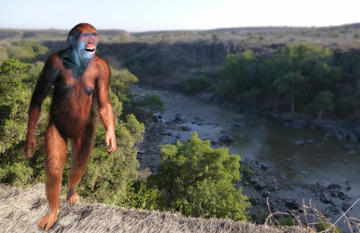 Slik kan menneskets stammor Lucy av arten <i>Australopithecus afarensis</i> ha sett ut. Modellen står i museet Cosmocaixa i Barcelona. Her er den fotomontert inn i et bilde fra området i Etiopia der restene av både Lucy og den nye arten <i>Australopithecus deyiremeda</i> er funnet. (Foto: (Bilde: Ji-Elle, Creative Commons Attribution-Share Alike 3.0 Unported license/forskning.no))