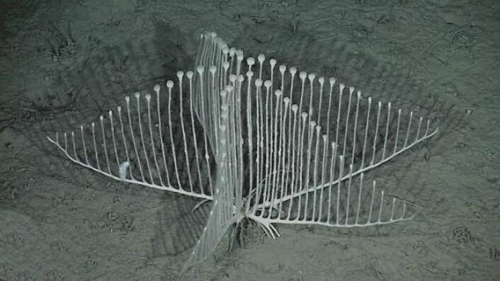 Denne harpeformede svampen lever på 3000 meters dyp i Stillehavet. (Foto: MBARI)