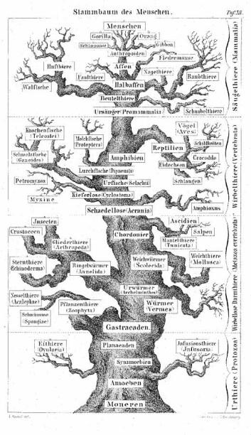 Menneskets stamtre, slik biologen Ernst Haechels var blant de første til å tegne det opp i 1874. Nede til venstre ser du Spongia, altså svampene.