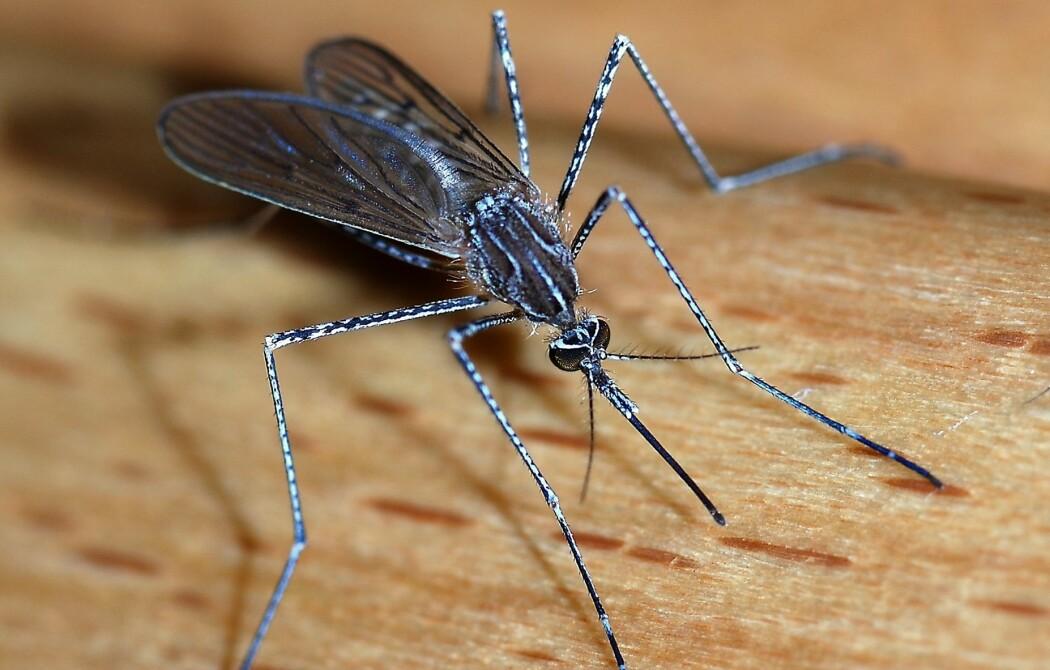 Stikkmyggens sugesnabel har noen helt spesielle ingeniør-triks. (Foto: Alvesgaspar, CC BY-SA 3.0)