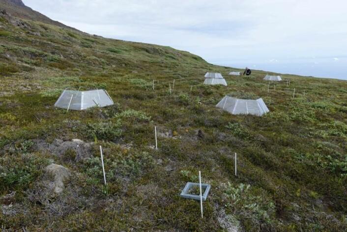 Forskere fra Center for Permafrost ved Københavns Universitet brukte åpne drivhus på Grønland for å undersøke hvordan de arktiske plantene og jordbunnen reagerer på klimaendringene. (Foto: Bo Elberling)