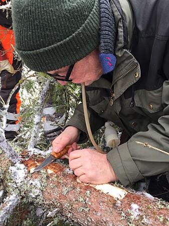 Forsker i NIBIO, Torstein Kvamme undersøker gangsystemene under barken. (Foto: NIBIO)