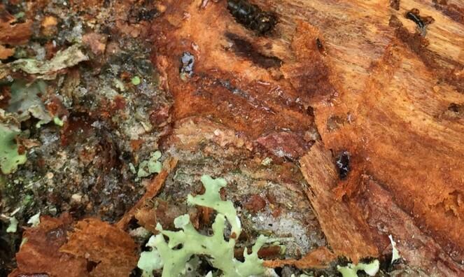 Uvanlig barkbilleangrep i Vestfold