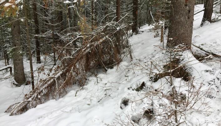 Her har toppen av grantreet trolig knekt og falt ned på grunn av tung snø og is. Disse toppene har vært som fabrikker for liten granbarkbille. (Foto: NIBIO)