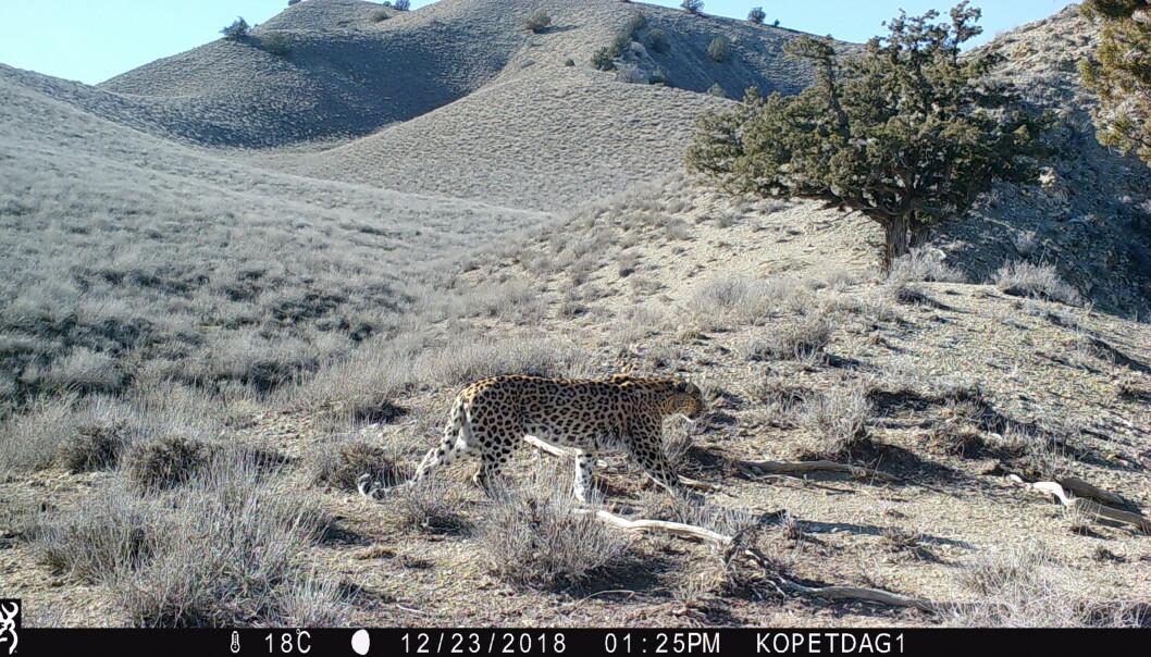 Den første leoparden fotografert i Kopet Dag-fjellene. Foto: viltkamera/NINA.