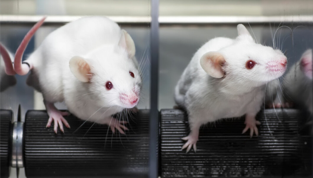 To grupper mus fikk dietter som blant annet inneholdt miljøgiften alfa-HBCD. Den ene fikk fiskeolje, mens den andre fikk soyaolje. Dette påvirket innholdet av miljøgiften i leveren. (Foto: Shutterstock / NTB scanpix)