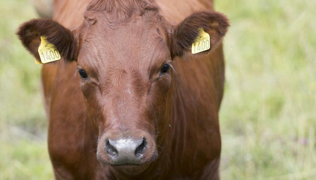 For første gang er det påvist antibiotikaresistente bakterier hos norske melkekyr. (Foto: Jon Olav Nesvold / NTB scanpix)