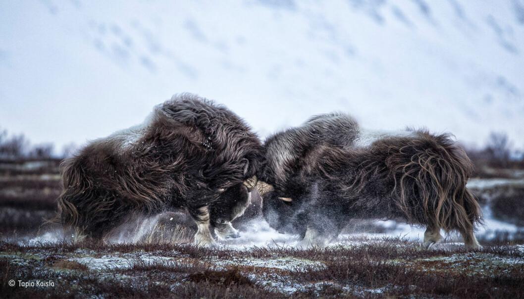 «Rett på»: Finske Tapio Kaisla tok en tur til Dovrefjell-Sunndalsfjell nasjonalpark for å fotografere moskusene. Selv om våren egentlig ikke er tid for brunst, var de allerede i full gang med å teste hverandres styrke. (Foto: Tapio Kaisla, @NHM_WPY)