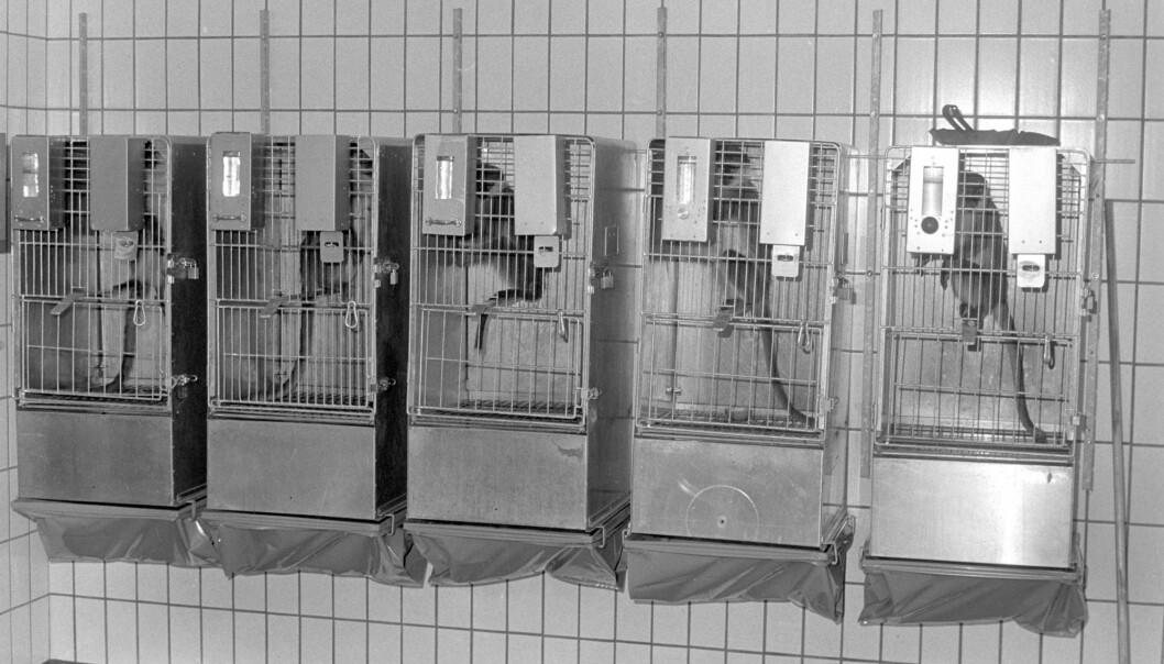 Statens institutt for folkehelse brukte levende aper i forskningsøyemed. Mange aper døde av sjokk, vanntrivsel og sykdom etter transporten til Norge, skrev VG i 1975. (Foto: Arne Iversen, VG, NTB scanpix)