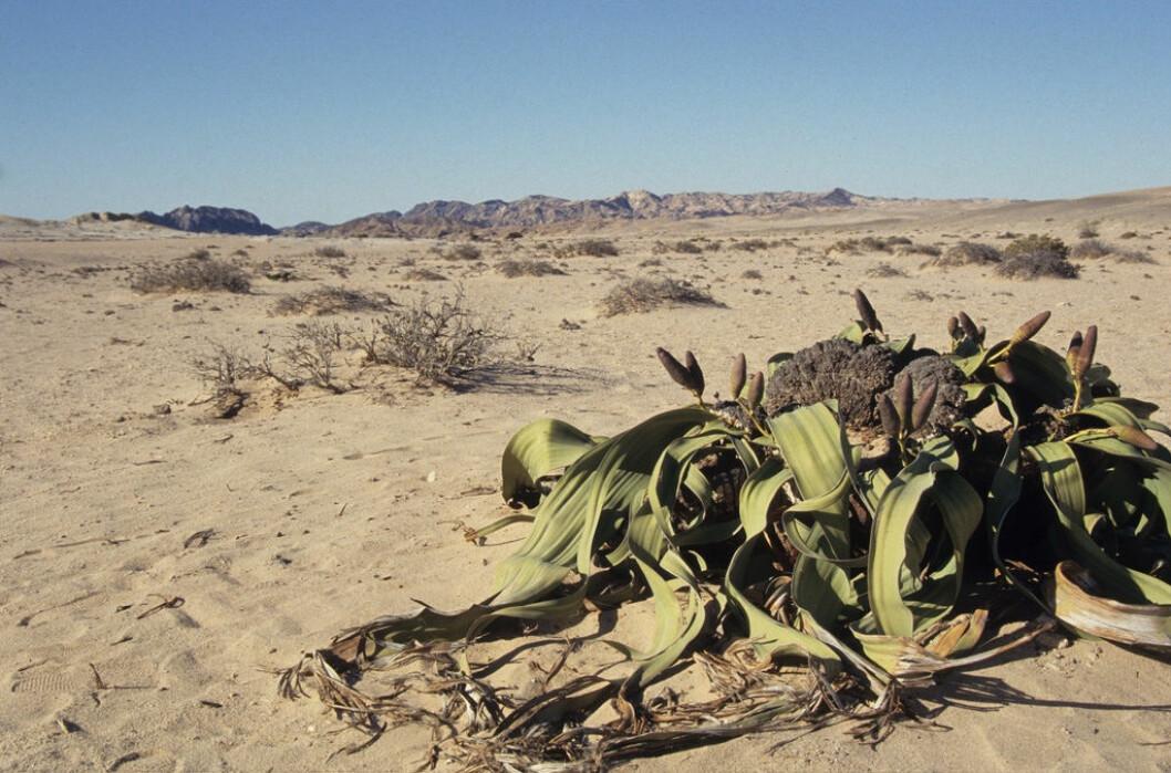 Denne gnetofytten, Welwitschia mirabilis, holder til i Namibia. Hvem den er i slekt med og hvor den skal plasseres er ikke like sikkert. (Foto: Derek Keats, Creative Commons BY 2.0)