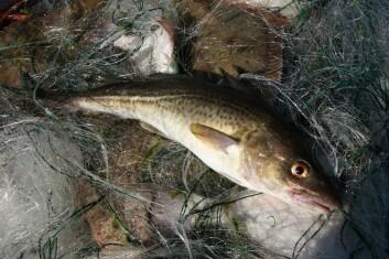 Denne torsken gikk i garnet i Østersjøen. Kanskje ville den overlevd ved å rømme til Skagerrak, men der hadde den ikke hatt sjans til å formere seg. (Foto: Colourbox)