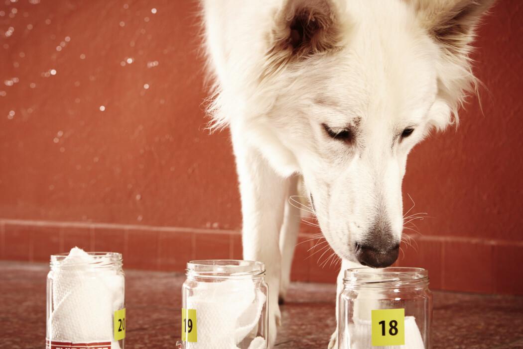 Den nye studien har brukt fem hunder til å teste om det er en «felles lukt» ved fem ulike typer epilepsianfall. (Foto: Couperfield / Shutterstock / NTB scanpix)