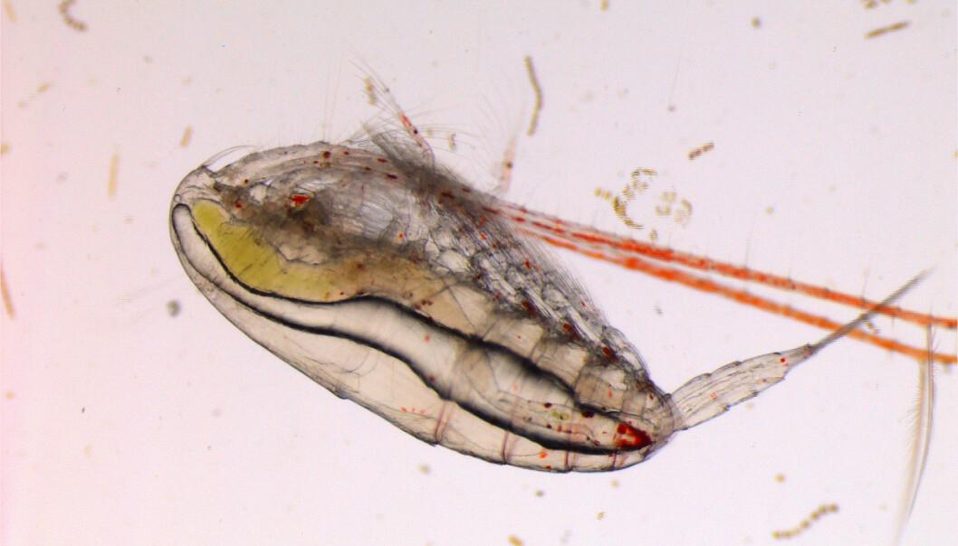 Forskerne fant at stress som følge av klimaendringer, kan endre den genetiske sammensetningen i neste generasjon encellede organismer, makroalger, virveldyr og virvelløse dyr. På bildet ser vi en raudåte som er en art av hoppekreps.   (Foto: Malin Daase / Norsk Polarinstitutt)