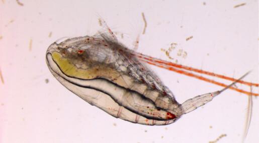 Endringer i havet påvirker flere generasjoner alger og hoppekreps