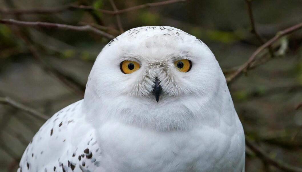 Snøugla er Norges nest største ugleart og kan være nesten helt hvit. Har du sett den? (Foto: Colourbox)