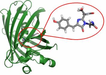 Beerepoot brukte datamodeller for å beregne hva som skulle til for å endre proteinet fra å lyse grønt til å lyse gult/blått. Figuren viser oppbygningen til GFP og hvor i proteinet forskerne kan gjøre endringer for å få til de fascinerende fargeskiftene. (Foto: Arnfinn Hykkerud Steindal/UiT)