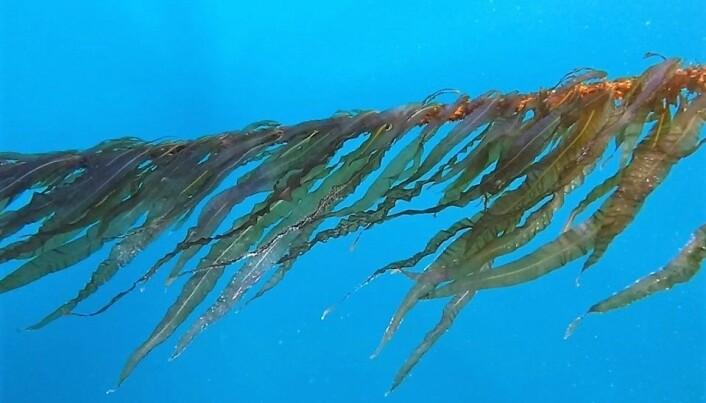 Lista over positive miljøeffektar av tare er lang: Tare kan mellom anna motverke klimaendringar og havforsuring ved å ta opp CO2, og kanskje fungere som leveområde for fisk der den naturlege tareskogen er forsvunnen. (Foto: Tango Seaweed A/S)