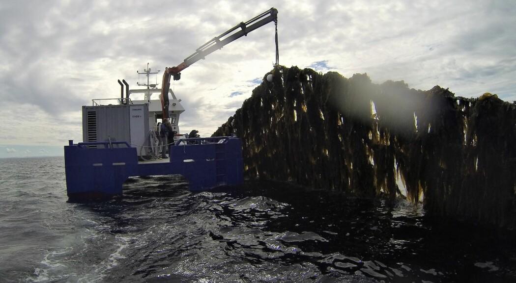 I 2017 var tareproduksjonen i dyrkingsanlegg i Noreg 145 tonn, men allereie i 2050 er produksjonen venta å kome opp i heile 20 millionar tonn. Her frå hausting av tare ved Frøya i Sør-Trøndelag. (Foto: Seaweed Energy Solutions)