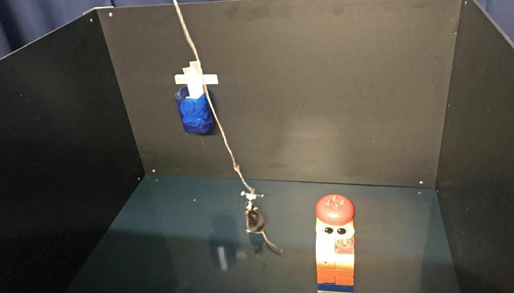 Her ser du et av eksperimentene. Forskerne målte hva som skjedde i musas hjerne når det var en ting i rommet, et tårn med duploklosser. (Bilde: Rita Elmkvist Nilsen / Kavli Institute for Systems Neuroscience)