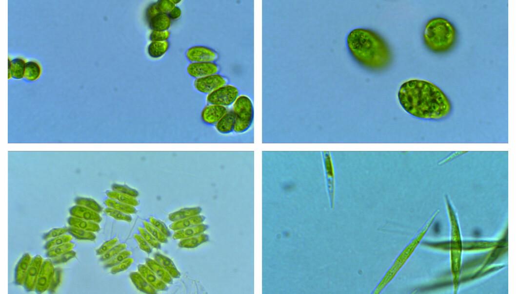 Enkelte alger har et høyt nivå av omega-3. Nå viser det seg at ulikt lys kan påvirke prosessen i algene som danner dette stoffet. Dermed kan kanskje forskere styre prosessen, slik at algene lager mer omega-3. (Foto: Universitetet i Sørøst-Norge)