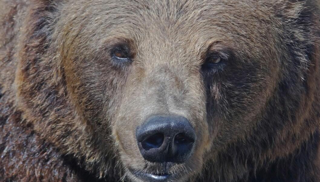 Vel en av tre bjørner i Norge holder til i Finnmark. (Foto: Per Løchen, NTB scanpix)