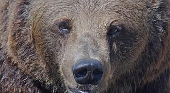Flere bjørner i Norge