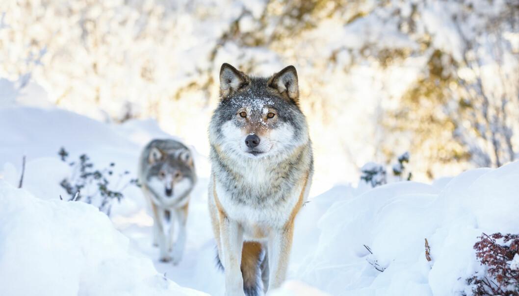 Utviklingslinjene som finnes i den skandinaviske ulvestammen, har ikke blitt funnet i noen hunder. (Foto: Kjetil Kolbjornsrud, Shutterstock, NTB scanpix)