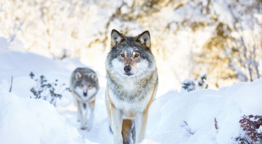Hvor kommer den skandinaviske ulven fra?