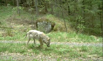 «Demonic rumors» om hemmelig utsetting av rovdyr i Norge, Frankrike og India