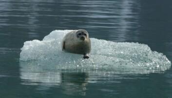 Ringselene er svært tilpasset havis. Her får de unger, gjennomfører hårfelling, og bruker is til å hvile på. De ses svært sjeldent liggende oppe på land. Mindre havis vil få dramatiske følger for bestandsutviklingen av ringsel.  (Foto: Kit M. Kovacs og Christian Lydersen / Norsk Polarinstitutt)