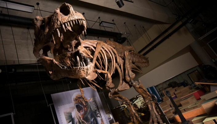 Dinosauren har fått navnet Scotty. (Foto: Amanda Kelley)