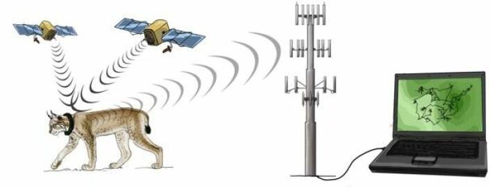 GPS-halsbåndet tar en posisjon ved hjelp av satelitter. Denne posisjonen sendes til forskerne ved hjelp av mobilnettet. (Foto: (Illustrasjon: Mirjam van Dalum))