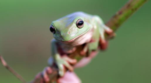 Dødelig soppsykdom truer verdens amfibier