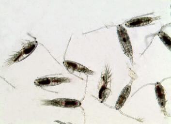 Dyreplanktonet hoppekreps er viktig mat for blant annet fisk og hval. (Foto: SINTEF)