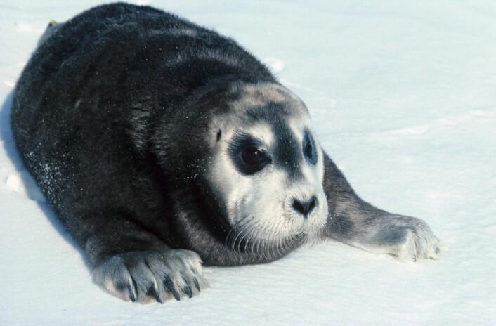 MISTER YNGLEPLASSENEI noen av fjordene på vestsiden av Svalbard har det manglet havis i fødeperioden for storkobber og de har av den grunn brukt is som har kalvet av fra breene som fødsels- og dieplattform. Men dette er kortsiktige løsninger siden breene der generelt blir mindre som følge av global oppvarming. (Foto: Kit M. Kovacs og Christian Lydersen / Norsk Polarinstitutt)